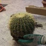 rinvasare cactus