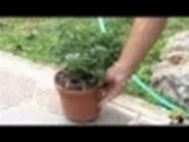 coltivare solanum,