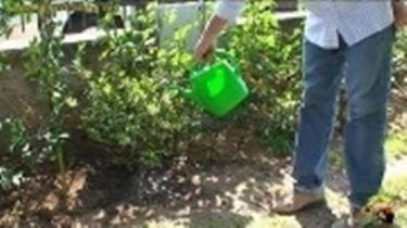 coltivazione azalee