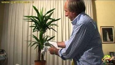 coltivare le yucche