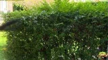 potatura verde