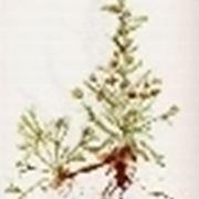 artemisia genep�