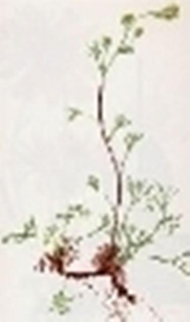 artemisia laxa