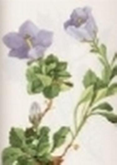 campanula raineri