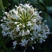 centranthus alba