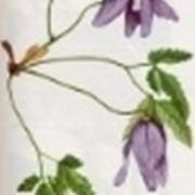 clematis alpina
