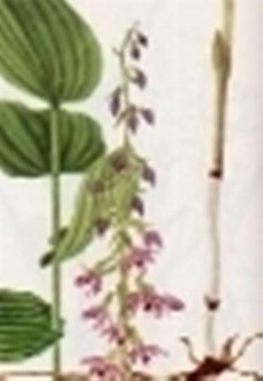 epicactis latifolia