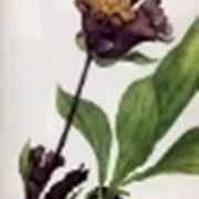 gentiana pannonica
