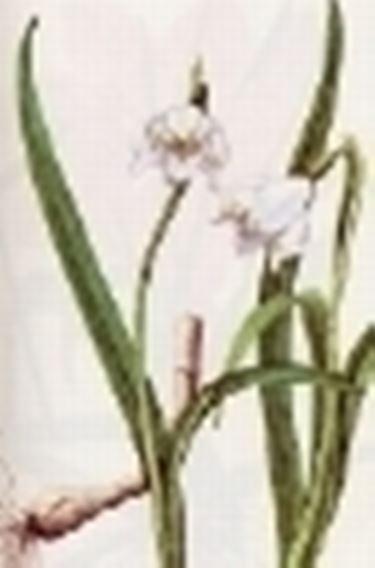 leucojum vernum