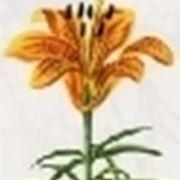 lilium bulbifera