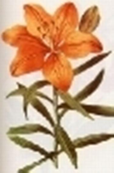lilium croceum