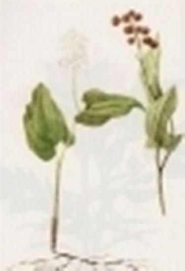 majanthemum bifolium