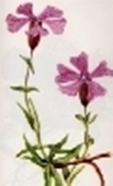 melandrium elisabethae