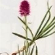 nigritella miniata