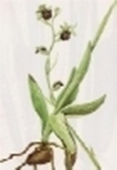 ophrys saranifera