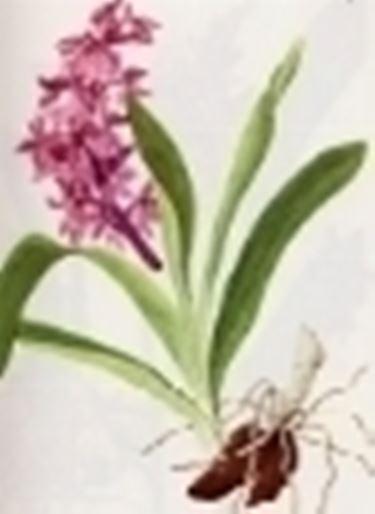 orchis mascula speciosa