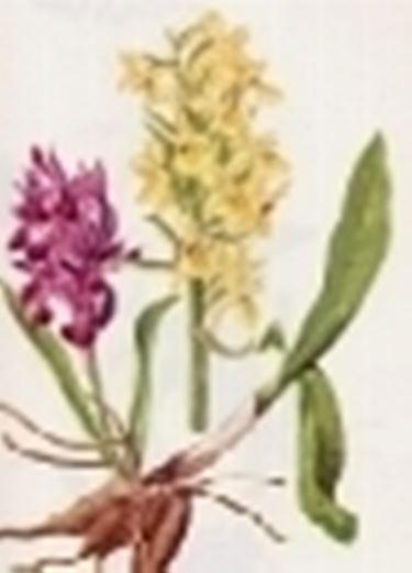 orchis sambucina