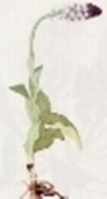 orchis sustulata