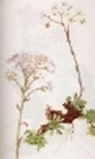 saxifraga aizoon