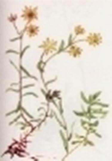 saxifraga autumnalis
