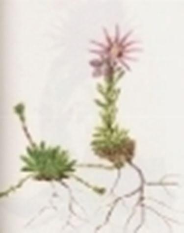 sempervivum montanum
