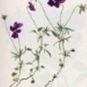 viola dubyana